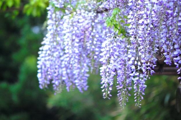 藤の花 画像
