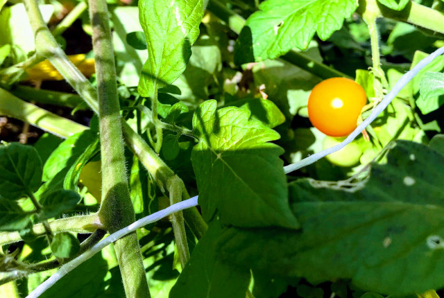 【プチトマト】成熟中