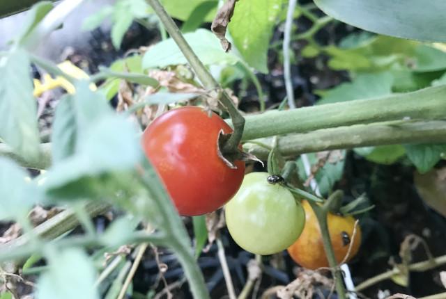 赤く熟したプチトマト